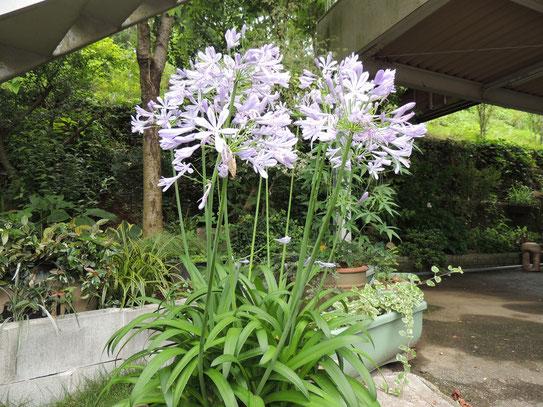 英名はアフリカンリリー(African lily)ユリ科のアガパンサスの事
