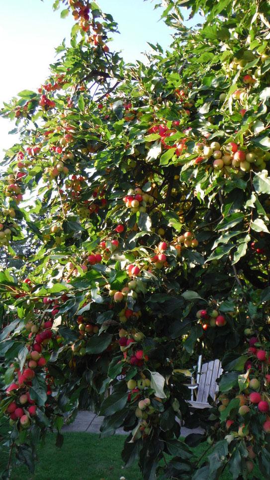 small sour apple 食用のリンゴのもとになった野性リンゴだそうです。