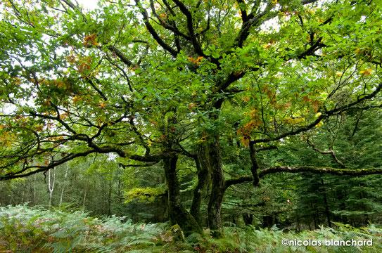 Les zones ayant un faible couvert forestier sont très rapidement colonisées par la Fougère aigle, Forêt d'Ecouves, 2015