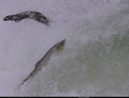 Les rares saumons qui arrivent à passer entre les centaines de Km de filets des Pros de la pêche (Photo Jérôme Allou)