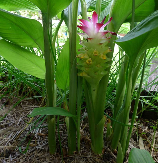 Curcuma longa en fleurs, feuilles et brachtées