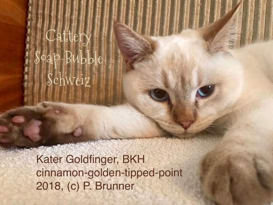 BKH Kater, cinnamon-golden-tipped-point, Foto: Paula Brunner, Emmental, CH