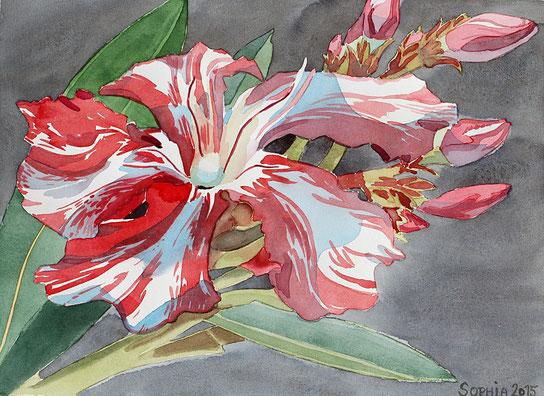 """Nerium Oleander """"KEWPIE"""""""