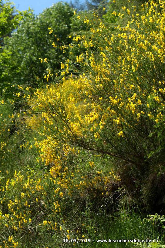plante fleurie de Cytisus scoparius Cevennes