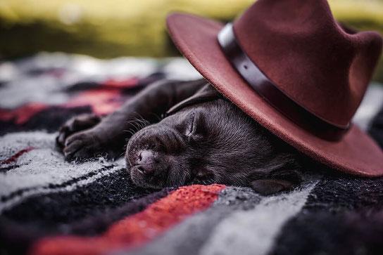 Brauner Schoko Labrador Welpe schläft auf einer Decke mit einem Hut festgehalten von der Hundefotografin Monkeyjolie in der Ostschweiz