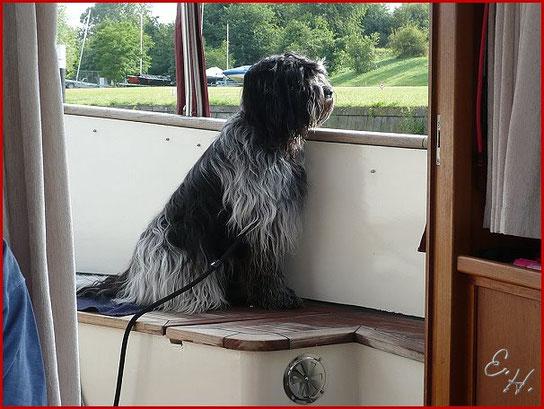 Schapendoes auf dem Boot