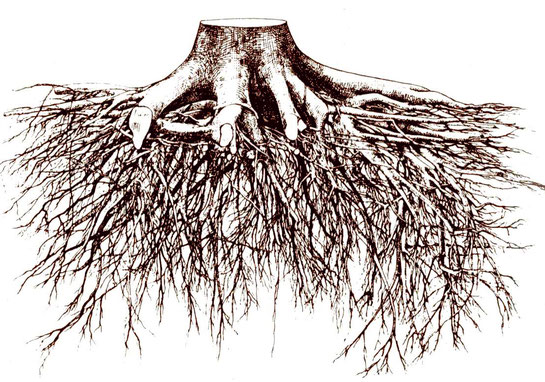 Schematisierte Abbildung des Herzwurzelsystems der Winterlinde.