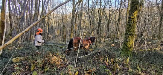 Débardage avec chevaux de trait en Béarn dans les Pyrénées Atlantiques - 64 - ACCOB