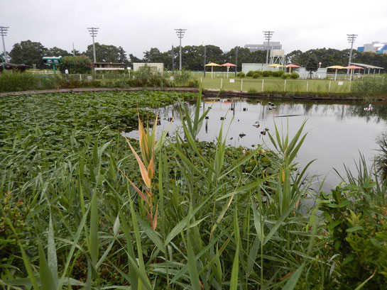 内馬場 池