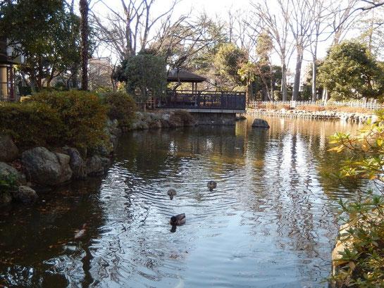 東京競馬場,日本庭園,池にカモ
