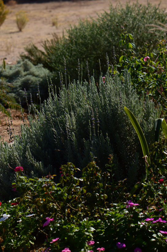 lavender, lavandula, small sunny garden, desert garden, gbfd, garden bloggers foliage day, amy myers, photography, goodwins creek gray