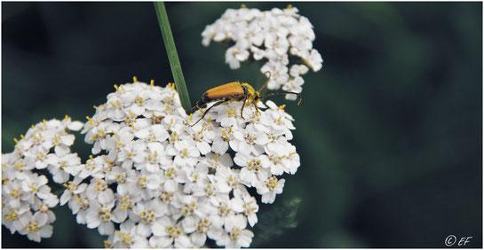 Ein Schwarzspitziger Halsbock im Pollenbad