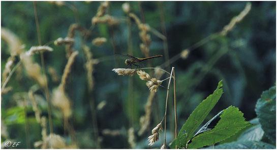 Eine Heidelibelle (Weibchen)