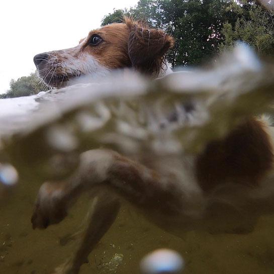 Kromfohrländer Gin schwimmend; aufgenommen mit einer GoPro