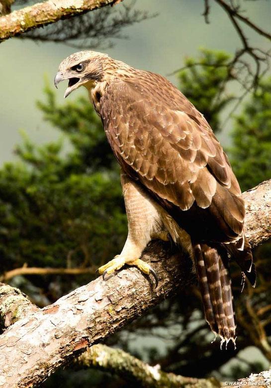 Wakao Kumataka Graphics:近くの枝に飛び移ってきた幼鳥