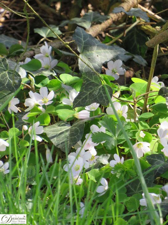Blühender Klee im Garten - Wilde Wiesenblumen im Frühling