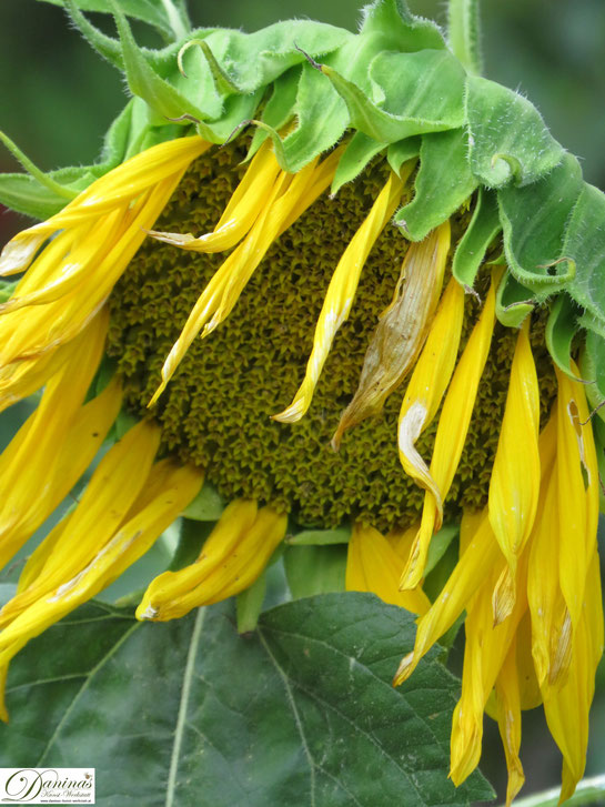 Sonnenblume im Sommer