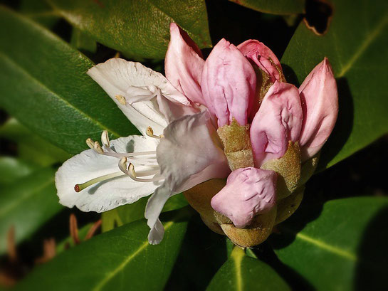 erste Blüte