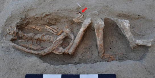 Squelette d'un homme datant du 1er siècle de notre ère. La flèche indique un anneau en fer (S.E. Sidebotham)