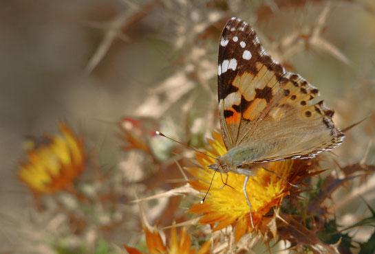 DSC_7381_Nacré tyrrhénien-Fabriciana elisa-Corsican Fritillary-Nymphalidae