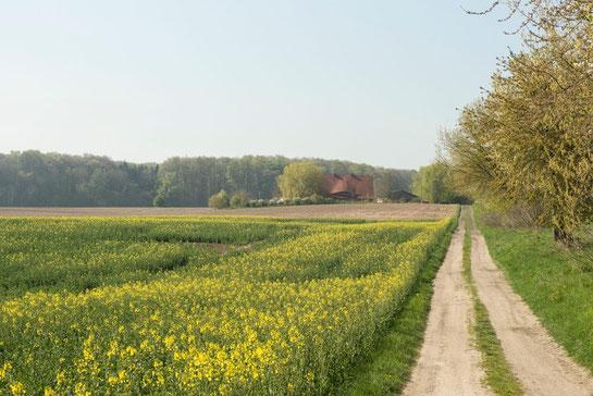 Das Bild zeigt ein blühendes Rapsfeld, das am rechten Bildrand von einem unbefestigten Feldweg gesäumt ist. Der Feldweg für zu einem Haus, das teilweise von Bäumen verdeckt in der Entfernung erscheint. Hinter dem Haus entlang des Horizonts ist ein Wald.