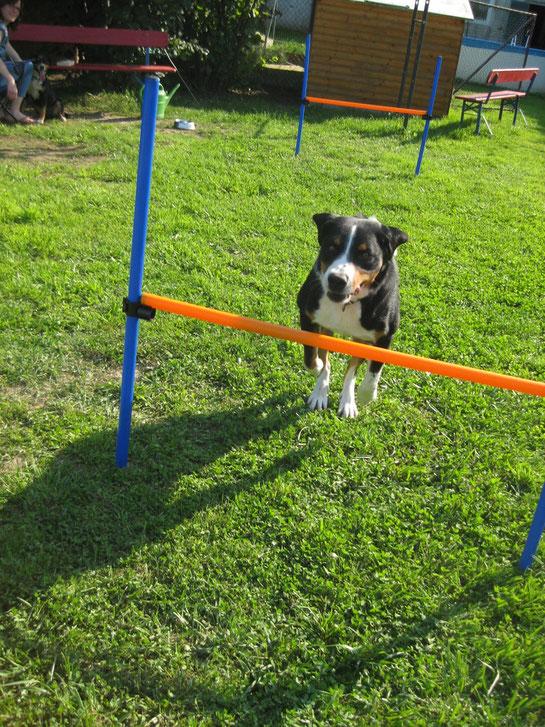 Sennenhund an der Hürde