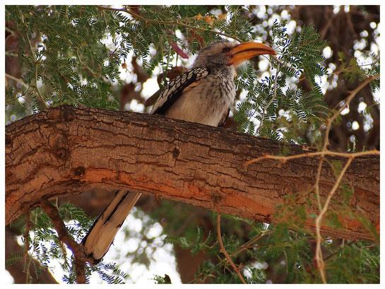 Calao à bec jaune de Namibie