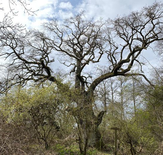 Die alten BAumriesen werden durch nachwachsende Jungbäume und Sträucher bedrängt und geschädigt