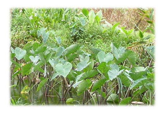 タロ芋の葉-アロハの象徴