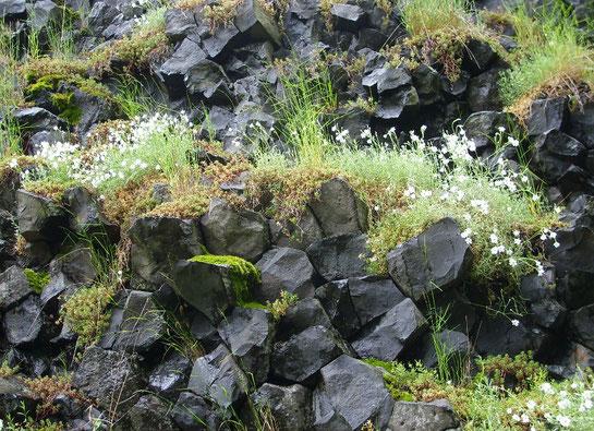 die schwarzen Basaltsteine symbolisieren Schwere, Schmerz / die Pflanzen - trotz erschwerter Bedingungen neues Leben, Erblühen, Hoffnung, Kraft.....                (Bild: Basaltkegel Parkstein bei Weiden - Maria Boßle)