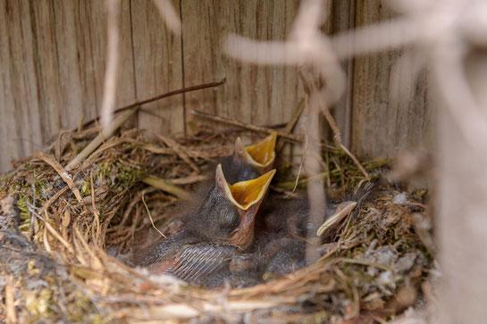 Hunger Vögelkinder Nest Idylle
