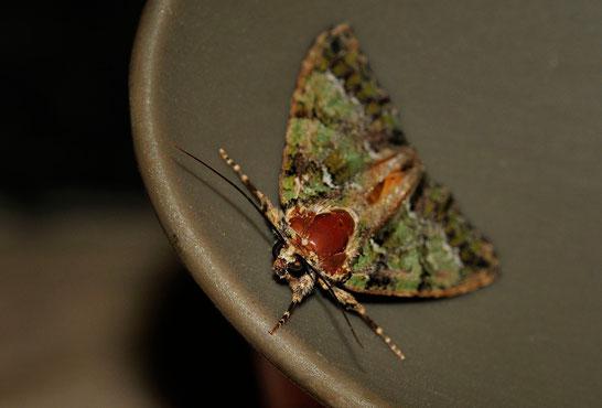 DSC6265_Noctuelle du camérisier-Polyphaenis sericata-Noctuidae