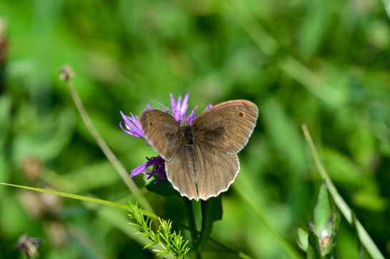 _JPM1606-Le Fadet commun-Coenonympha pamphilus-Nymphalidae