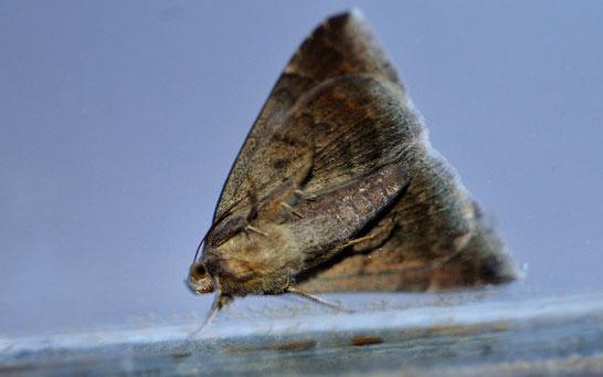 _DSC6026_Le Passager-Dysgonia Algira-Noctuidae