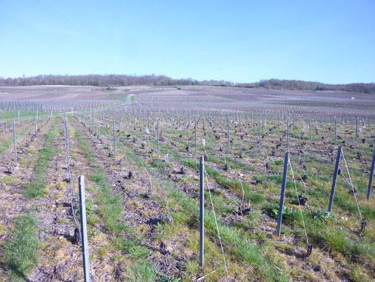 Dans la région de Reims Il y a aussi des vignobles réputés, notamment pour le champagne !