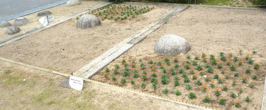 今後、サルビアや小型ヒマワリなどの苗やタネをまく予定・・。