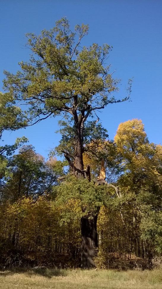 Eiche im Tiergarten in Dessau