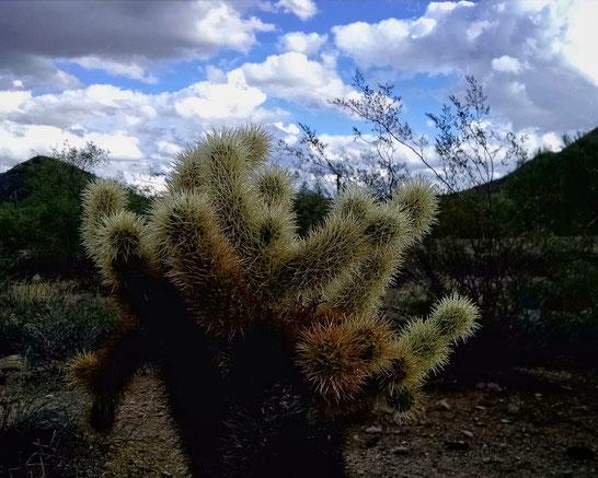 Cholla cactus (Opuntia sp.)
