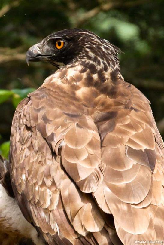 Wakao Kumataka Graphics:鋭い目で辺りを警戒する雌成鳥