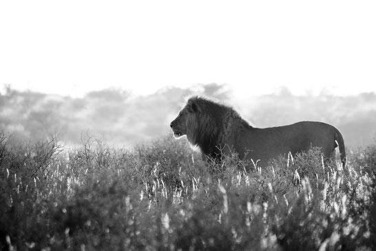 Löwe Kgalagadi Transfrontier National Park