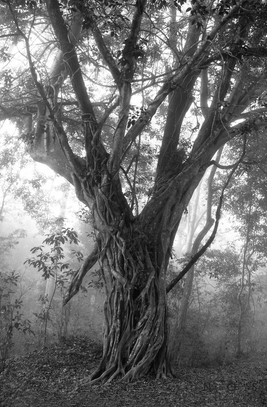 The Tree, Suedindien