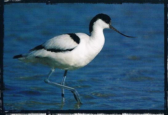 La Avoceta es una de las aves más representativas del parque del Fondo, Alicante, Comunidad Valenciana.