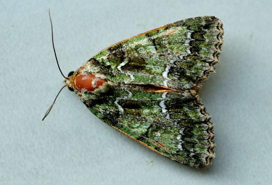 _DSC6265_Noctuelle du camérisier-Polyphaenis sericata-Noctuidae