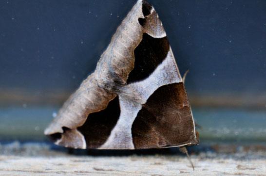 _DSC6022-Le Passager-Dysgonia Algira-Noctuidae