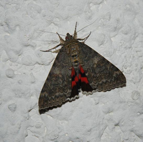 DSC_1257_la Lichénée rouge-La Mariée-Catocala nupta-Noctuidea
