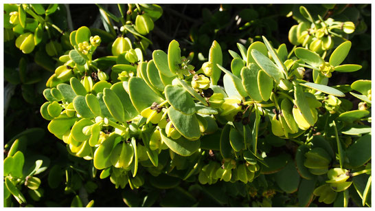 Zygophyllum stapfii de Namibie