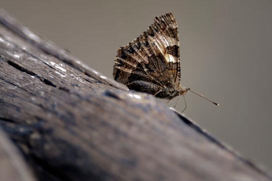 _DSC0159_Petite tortue-Vanesse de l'ortie-Nymphalidae