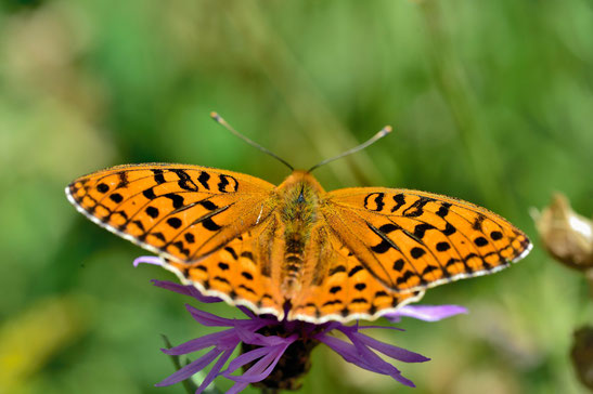 _JPM1612-Le grand nacré-Speyeria aglaja-Nymphalidae