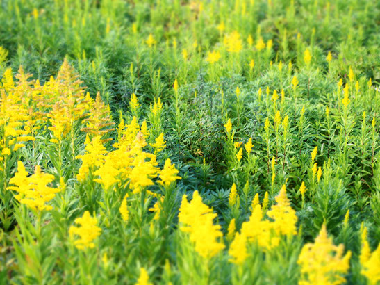 秋と言えばこの黄色い草です。