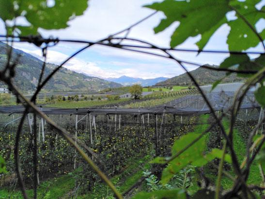 Heimwärts am Naturlehrpfad entlang der Apfelplantagen. Gaaanz hinten: die Zillertaler Alpen mit Schnee